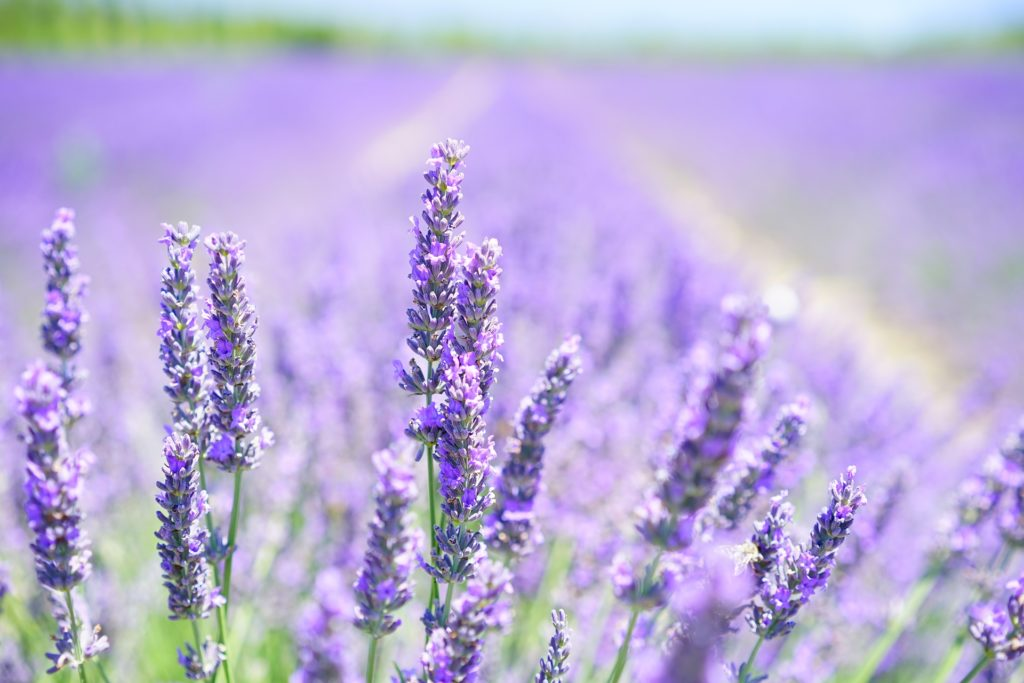 lavender for insomnia