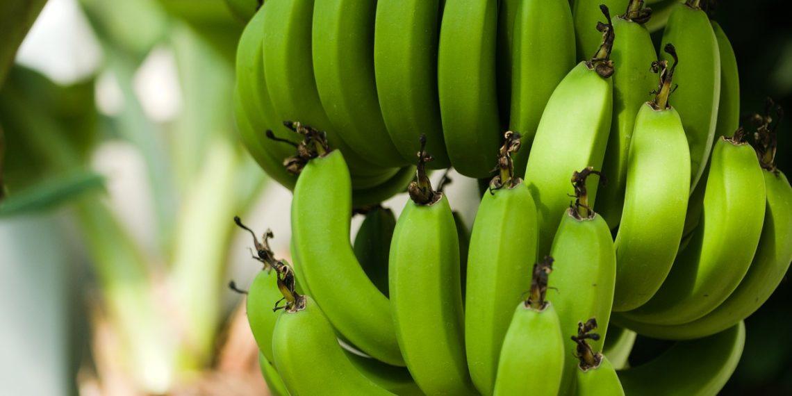 Farinha de Banana Verde: Uma Farinha Sem Glúten Que Pode Ajudar a Reduzir o Açúcar no Sangue